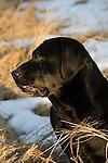 Black Labrador retriever (AKC) sitting in the snow