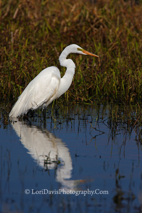 Great Egret with Reflection #E11
