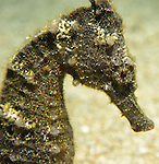 Kenting, Taiwan -- Close-up of a Zebra-Snout Seahorse.