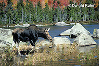 MS05-041z  Moose - cow (female) feeding at Sandy Stream Pond in Baxter State Park, Maine - Alces alces