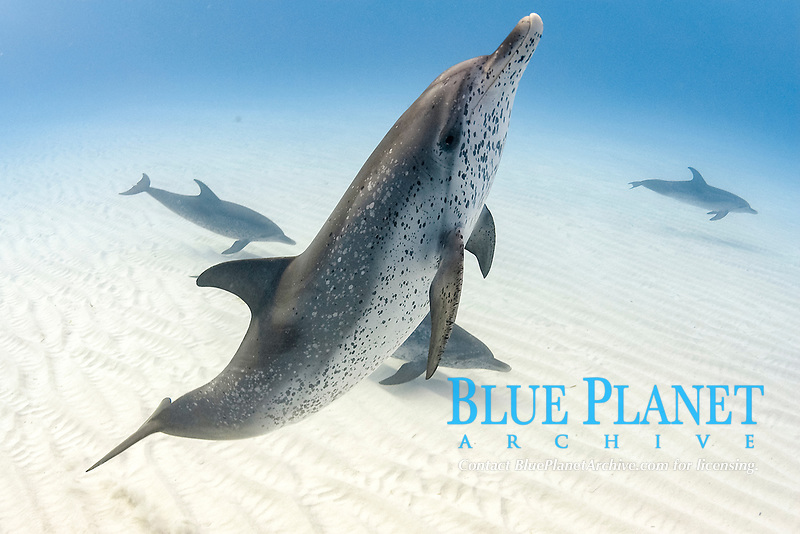Wild Atlantic Spotted dolphins (Stenella frontalis), Little Bahama Bank, Bahamas, Caribbean, Atlantic