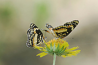 Bordered Patch, Chlosyne lacinia, Two adults on Clasping-leaved Coneflower(Dracopis amplexicaulis), Willacy County, Rio Grande Valley, Texas, USA, June 2006