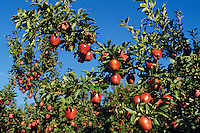 Red Delicious apples ripening in commercial orchard.  Pacific Northwest.