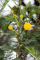 Schreckliche Akazie, Dornen, Dorn, Acacia karroo, Acacia karoo, Acacia horrida, Vachellia karroo, Vachellia horrida, Mimosa horrida, Sweet thorn, Soetdoring, Karroo thorn, Cape thorn tree, karoo-thorn, Karoo thorn, Sweetthorn, cockspur thorn, mimosa thorn, white-thorn