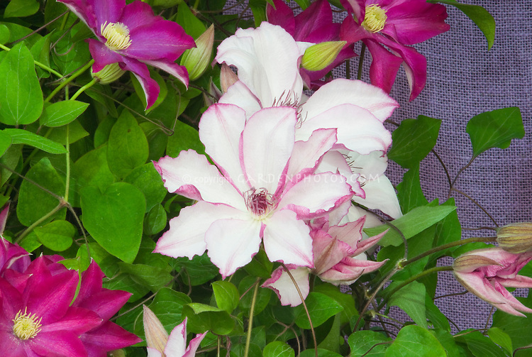 Clematis 'Omoshiro' (EL) climbing vine, white flowers with pink picotee and undersides