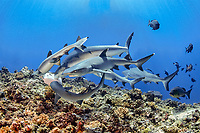 Some Whitetip Reef SharksTriaenodon obesus, together with some Grey Reef Sharks, Carcharhinus amblyrhynchos, going after a bait box full of sardines on top of a reef near Father Reefs, Bismark Sea, West New Britain, Papua New Guinea.