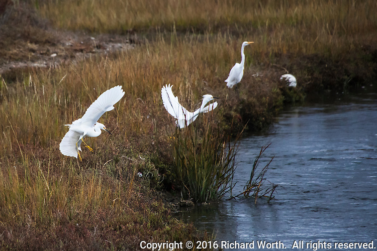 A flurry of wings as two Snow egrets argue over territory along San Leandro Creek at the Martin Luther King Jr. Regional Shoreline in Oakland, California.