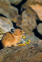 PIKA - Ochotonidae princeps -bringing flowers to haypile for winter food supply. Alpine resident. Mt. Rainier National Park, WA. USA. Cascade Mountains.