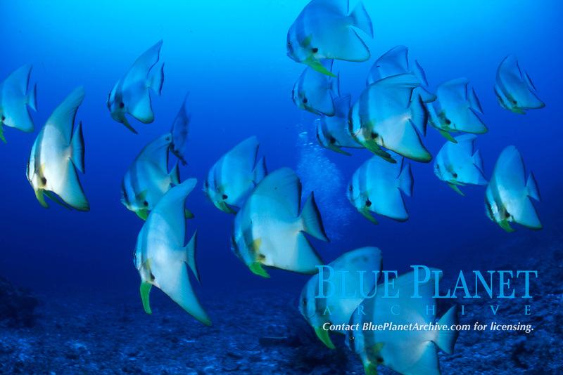 school of spadefish, Platax boersi, Okinawa, Japan, Pacific Ocean
