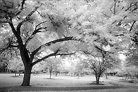 Infrared trees, Veterans Park, Boerne.<br /> <br /> Nikon F3HP, 24mm lens, Kodak High Speed Infrared film, red filter