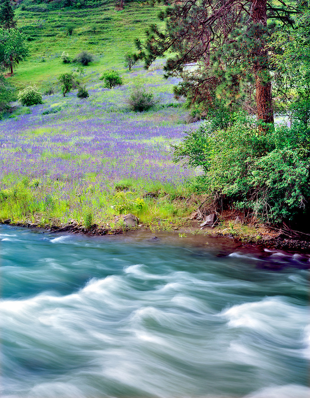 A species of Phacelia and the Imnaha River, Hell's Canyon National Recreation Area, Oregon