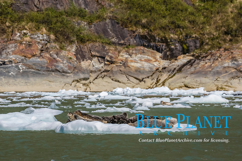 Adult harbor seals, Phoca vitulina, on ice in Tracy Arm and Ford's Terror Wilderness Area, Southeast Alaska, USA