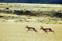 Pronghorn buck and doe. Buck is chasing doe who has bolted from his harem, Fall.