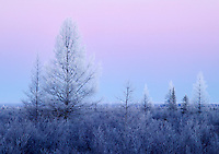Hoarfrost on tamarack trees in peatland, Red Lake Wildlife Management Area, Minnesota