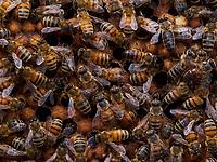 In this photo of bees on a brood frame, we can observe the difference in color of certain bees, which attests to the genetic mixing between different lines of half-sister. This genetic mixing is the result of the fertilization of the queen by a dozen or more males.<br /> Sur cette image d'abeilles sur un cadre de couvain, l'on observe la différence de couleur de certaine abeille qui atteste du brassage génétique entre les différentes lignées de demi-sœurs. Ce brassage génétique est le résultat de la fécondation de la reine par une quinzaine de mâles.
