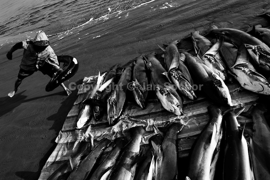 A fisherman carries dead bodies of thresher sharks at dawn on the beach of Manta, Ecuador, 9 September 2012. Every morning, hundreds of shark bodies and thousands of shark fins are sold on the Pacific coast of Ecuador. Although the targeted shark fishing remains illegal, the presidential decree allows free trade of shark fins from accidental by-catch. However, most of the shark species fished in Ecuadorean waters are considered as ?vulnerable to extinction? by the World Conservation Union (IUCN). Although fishing sharks barely sustain the livelihoods of many poor fishermen on Ecuadorean at the end of the shark fins business chain in Hong Kong they are sold as the most expensive seafood item in the world. The shark fins are primarily exported to China where the shark's fin soup is believed to boost sexual potency and increase vitality. Rapid economic growth across Asia in recent years has dramatically increased demand for the shark fins and has put many shark species populations on the road to extinction.