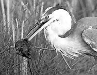 A Great Blue Heron spears a Marsh Rat on its bill at Black Pointe Wildlife reguge in Merritt Island, FL, May 1994. (Photo by Brian Cleary/www.bcpix.com)