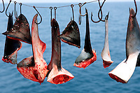 Shark finning is one of the world's most destructive fisheries . Sharks are killed needlessly, and their fins are collected for shark fin soup, Baja California, Mexico