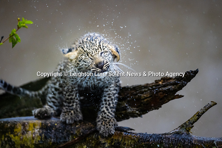 Pictured:  Sequence 3 of 8:  The cub shaking off the rain<br /> <br /> A leopard cub shakes the rain off its fur before cuddling up to its mother.  The newborn sent raindrops flying as it shook its head from side to side on a tree branch.<br /> <br /> The cub appeared energised by the rain and encouraged his reluctant mother to play.  These photographs were taken at the Masai Mara National Reserve in Kenya by wildlife photographer Leighton Lum.  SEE OUR COPY FOR DETAILS.<br /> <br /> Please byline: Leighton Lum/Solent News<br /> <br /> © Leighton Lum/Solent News & Photo Agency<br /> UK +44 (0) 2380 458800