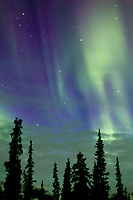 Aurora borealis streams across the starry sky, silhouetted spruce trees at the base of the Brooks Range, Arctic Alaska.