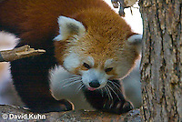 0313-1101  Red Panda, Ailurus fulgens  © David Kuhn/Dwight Kuhn Photography