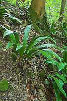Hirschzungenfarn, Hirschzunge, Hirschzungen-Farn, Asplenium scolopendrium, Phyllitis scolopendrium, Hart´s Tongue Fern, Scoloendre