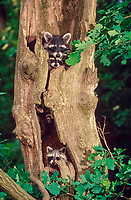 Raccoons (Procyon lotor), young animals looking out of tree hollow, raccoon