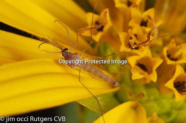 Culex quinquefasciatus at all stages, larvae, pupae and females. Aedes albopictus feeding on human blood