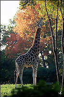 Please eat more vegetables<br /> A feeding giraffe in Bronx Zoo.