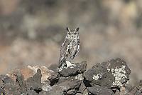 Greyish Eagle Owl near Ziway in Ethiopia
