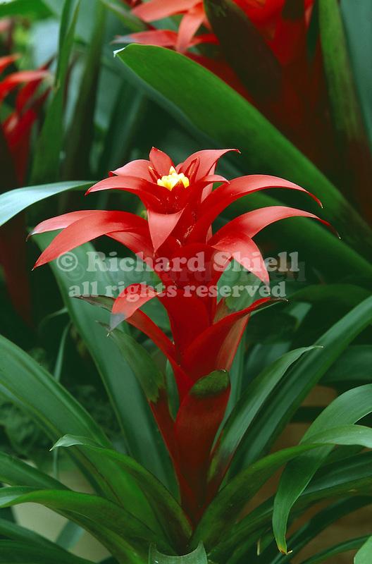 16515-AF Bromeliad, Guzmania 'Scarlet Knight', grown from tissue culture, in April, at Santa Paula