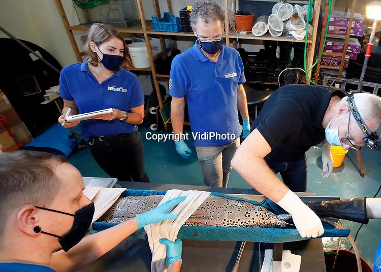 """Foto: VidiPhoto<br /> <br /> ARNHEM – Voor de tweede keer in de geschiedenis van Burgers' Zoo in Arnhem ging daar maandag een enorme vis onder het mes. Een zogenoemde murene van bijna anderhalve meter met een huidinfectie aan zijn kop werd -na een narcosebad- in een soort halve regenpijp gelegd om geopereerd te worden. Omdat niet duidelijk is wat het dier mankeert is maandag eerst wat weefsel verwijderd wat wordt opgestuurd naar een laboratorium. Het opereren van zoutwatervissen gebeurt zelden of nooit. Omdat daar zo weinig over bekend is, is het volgens Burgers' Zoo """"echt pionieren."""""""