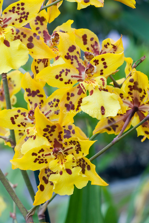 Orchid Odontocidium Tiger Crow 'Golden Girl', HCC/AOS, in yellow and red marked flowers