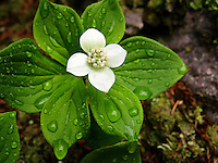 """Bunchberry After the Rain""<br />
