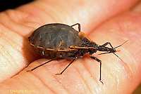 HE08-003a  Kissing Bug - conenose, filled with blood after biting human - Triatoma spp.