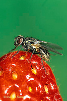 1H01-038a  House Fly - adult on strawberry - Musca domestica