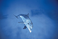 Bottlenose Dolphin, Tursiops truncatus, swimming, Dolphin Reef, Eilat, Israel, Red Sea.