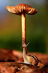 Snail lifts mushroom up by Romain Doucelin