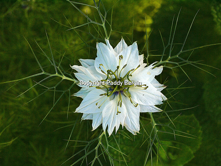 Some of the names applied to this flower are: nigella, devil-in-a-bush or love in a mist.<br /> <br /> The seeds of Nigella sativa, known as kalonji, black cumin (although black cumin may also refer to Bunium persicum), black onion seed, onion seed or just nigella, are used as a spice in Indian and Middle Eastern cuisines.<br /> <br /> Stock Photo by Paddy Bergin