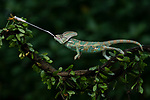 Chameleon catches a dragonfly by Tanto Yansen