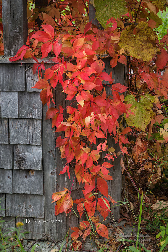 Red Vine, Muster Field Farm, New Hampshire