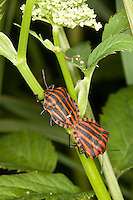 Streifenwanze, Streifen-Wanze, Kopulation, Paarung, Graphosoma lineatum, , Italian Striped-Bug, Striped-Bug, Minstrel Bug, copulation