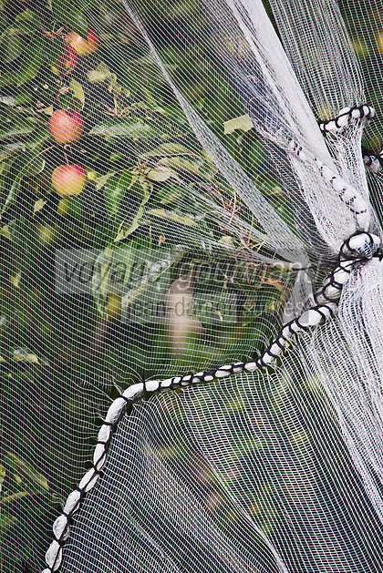 Europe/France/Limousin/19/Corrèze/env d' Arnac-Pompadour: Vergers de la Route de la Pomme du Limousin - les fruits sont protégés des oiseaux par des filets