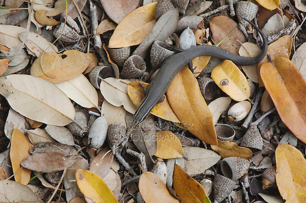 Four-lined Skink, Eumeces tetragrammus tetragrammus, adult in leaf litter, Uvalde County, Hill Country, Texas, USA, April 2006