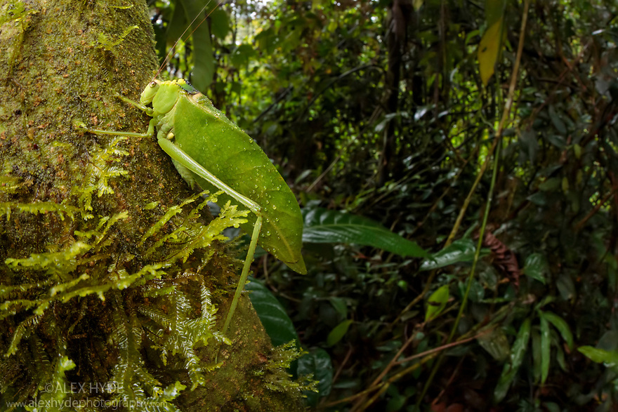 Katydid / Bush Cricket (Tettigoniidae) camouflaged amongst cloud forest understory vegetation. 1600 metres altitude, Manu Biosphere Reserve, Peru. November.