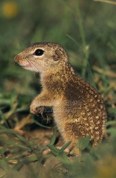 Mexican Ground Squirrel, Spermophilus mexicanus, adult, Choke Canyon State Park, Texas, USA