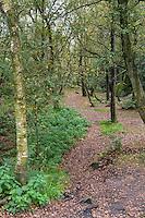 UK, England, Yorkshire.  Forest around Brimham Rocks, a National Trust Location.