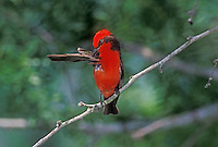 Vermillion Flycatcher, Pyrocephalus rubinus,male preening, Lake Corpus Christi, Texas, USA