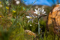 Hesperocallis undulata, Desert lily flowering in Sonoran Desert at Anza Borrego California State Park