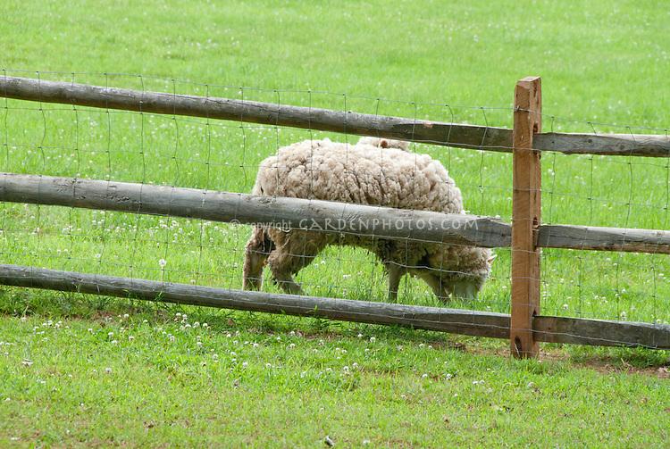 Wool sheep grazing in meadow on farm